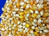 Picture of Pop Weaver YELLOW Hybrid Corn